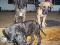 CKC GREAT DANE PUPS DUE 10/28 AND WILL BE READY JUST IN