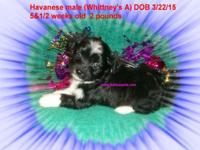 CKC Havanese puppies 2 males $600 each, 1 female $750.