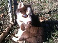 I have 12 husky puppies to choose from out of 2