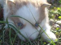 I have 10 husky pups left. they are ckc registered with