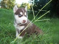 I have actually Ckc registered husky puppies available.