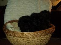 I have 3 dark colored Imperial Shih Tzu girl puppies