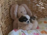 Gorgeous Imperial Shih Tzu young puppies. 2 male and