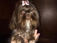 Ckc registered imperial Shihtzus female is Black white