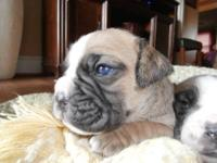 **BEAUTIFUL VALLEY BULLDOGS FOR SALE** ******ONE LEFT