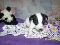 I have 1 male Jack Russell Terrier available an ready