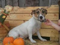 I have a friendly spayed adult female JRT for sale. She
