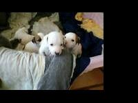 Fun and loving JRT puppies, both Mother (Dam) and