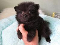 Pick of the litter TINY pomeranian pup ready for his
