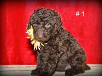 Family raised. Beautiful F2b Labradoodle puppies. They