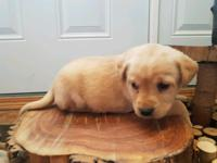 Ckc puppies for sale,we got 3 puppies for sale 2