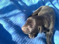 Gorgeous Lab young puppies for sale! We have 10