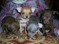 We have 4 little boy Chihuahua puppies available: