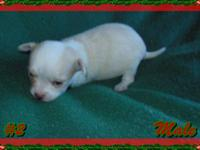 This is thew last puppy I have available. He is CKC