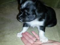 9 week old CKC registered long hair Chihuahua puppies