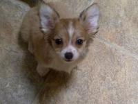 Adorable and very playful, CKC Long Haired Chihuahua's