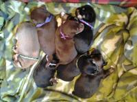 CKC Chihuahua puppies ready for there new homes