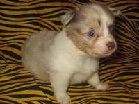 We have some sweet little CKC male Chihuahua puppies