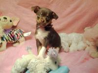 I have 4 CKC Chihuahua puppies left ready for there new
