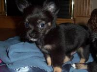 I have 3 male longcoat chihuahuas that will be ready