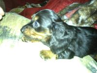 2 female longhaired dachshund puppies blk and tan first