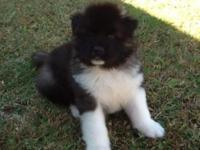 Beautiful Male Akita puppy, longcoat. Large bone.