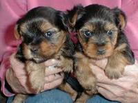 ***Cutes 2male and 2 female T-Cup Yorkies looking for