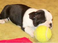 I'm Huckleberry, a male Boston Terrier puppy. I am