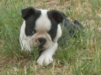 I'm Huckleberry, a guy Boston Terrier new puppy. I am