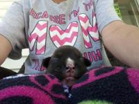 One CKC brindle boxer puppy left,born October 9th,