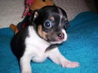 Male chihuahua black and white short coat,Ckc
