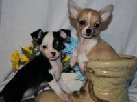 Two adorable Ckc Male chihuahua puppies. Born on May