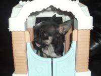 I have a CKC chihuahua puppy. He weighed about 1.5