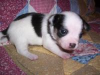 Male chihuahua white with black long coat. Ckc signed