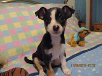 Male Chihuahua puppy black and white short coat. Ckc
