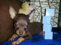 Three wonderfully sweet male Chihuahua's. They are