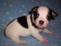 Male chihuahua white and black long coat. Ckc signed