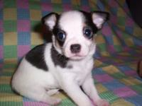 Male chihuahua white and black long coat. Ckc