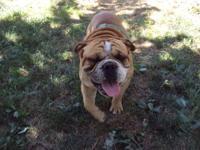 I have a 3 yr old CKC male english bulldog named Saban