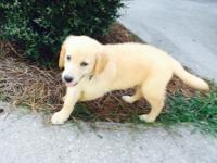 Beautiful Golden Retriever puppy for sale. Can't keep