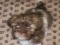 I have a male purebred shih tzu puppy. He is liver