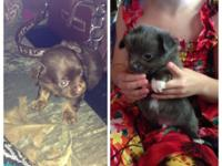 CKC longhaired chihuahua puppies. 2 puppies. Both male