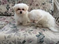 9 Week old CKC Maltese - 2 Males Ready to go First set