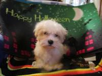 CKC Male Maltese .born 07-21-2015.Very loving wants to