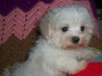 I am selling my 4 month old maltese puppy. He will be