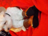 CKC Male Maltese born 11-24-2014 will be 8 weeks old on