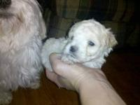 Maltipoo puppy he is very tiny. Vet said he will barely