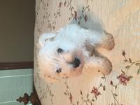 Registered Male Schnauzer-Somerset Kentucky, 1st shot-