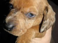 I have two miniature dachshunds left for sale. This is