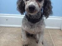 Male Blue Merle Minature Poodle. Has great colors in